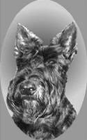 SI437 Scottish Terrier PP SI437